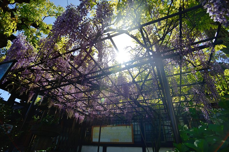 京の桜巡り2016@六孫王神社 八重桜_f0032011_18403236.jpg