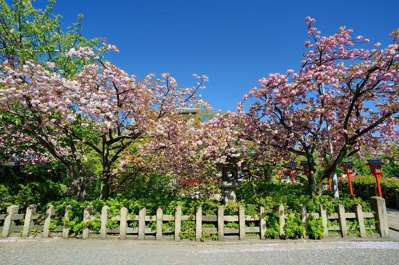 京の桜巡り2016@六孫王神社 八重桜_f0032011_18404961.jpg