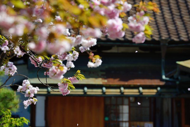 京の桜巡り2016@六孫王神社 八重桜_f0032011_18421637.jpg