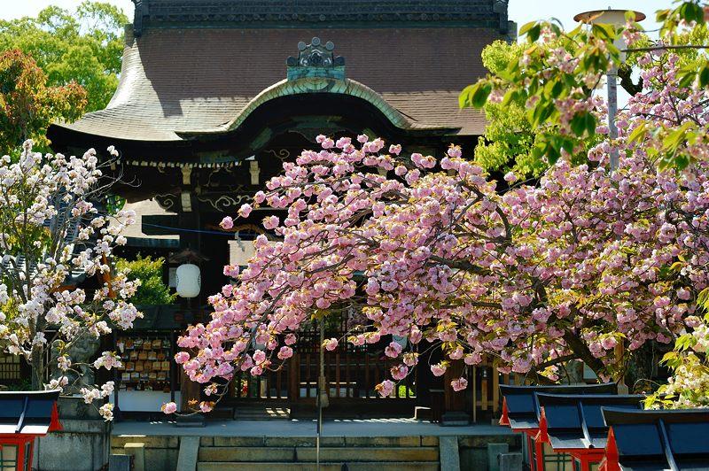 京の桜巡り2016@六孫王神社 八重桜_f0032011_1842351.jpg