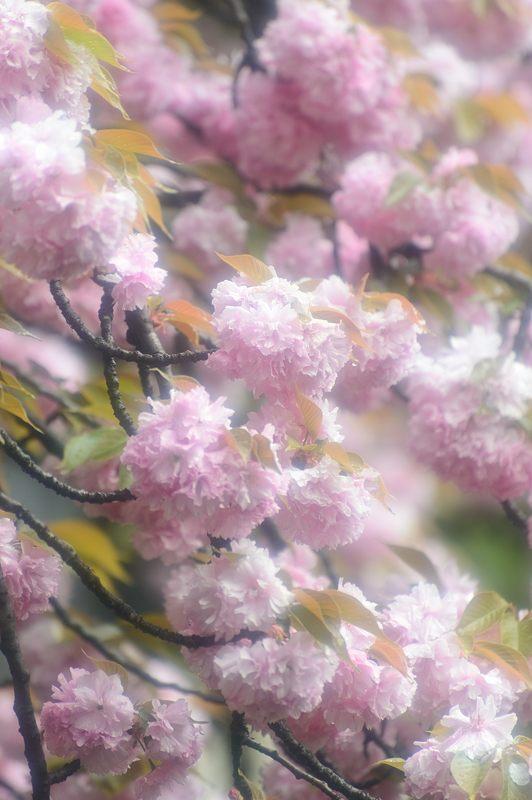 京の桜巡り2016@六孫王神社 八重桜_f0032011_1842486.jpg