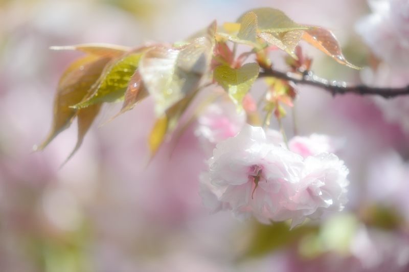 京の桜巡り2016@六孫王神社 八重桜_f0032011_18432599.jpg