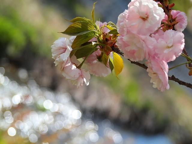 圧倒的桜。2018 春死なむ_d0295818_00101054.jpg