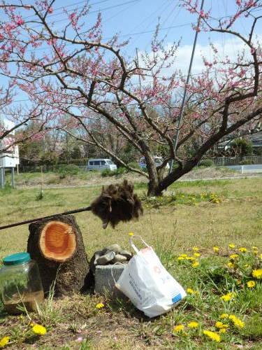 いきなり 桃の花 受粉です_f0325525_23540228.jpg