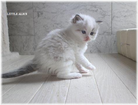 ☆ラグド-ルの仔猫。月夜の晩に・・・_c0080132_11285711.jpg
