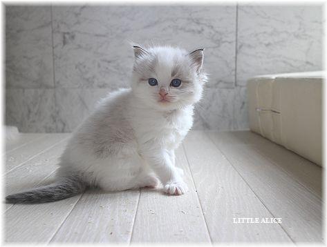 ☆ラグド-ルの仔猫。月夜の晩に・・・_c0080132_1130929.jpg
