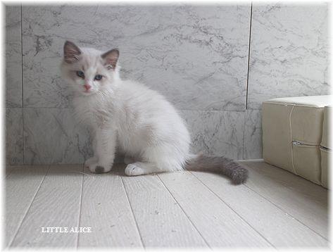 ☆ラグド-ルの仔猫。月夜の晩に・・・_c0080132_11324278.jpg