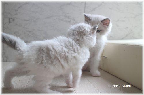 ☆ラグド-ルの仔猫。月夜の晩に・・・_c0080132_113284.jpg