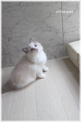 ☆ラグド-ルの仔猫。月夜の晩に・・・_c0080132_11331075.jpg
