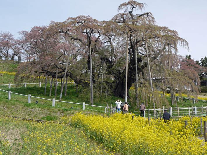 散ってしまっていた三春滝桜、見ごろは1週間前だった4・20_c0014967_9304044.jpg
