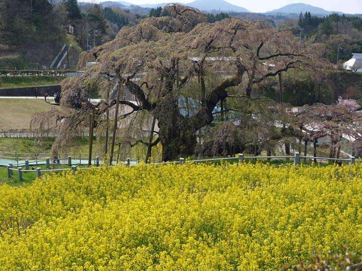 散ってしまっていた三春滝桜、見ごろは1週間前だった4・20_c0014967_9305875.jpg