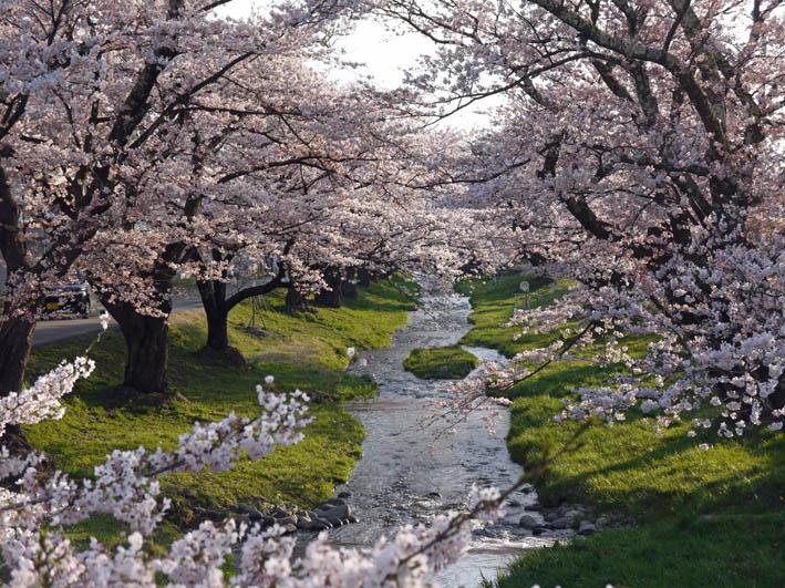散ってしまっていた三春滝桜、見ごろは1週間前だった4・20_c0014967_9322856.jpg