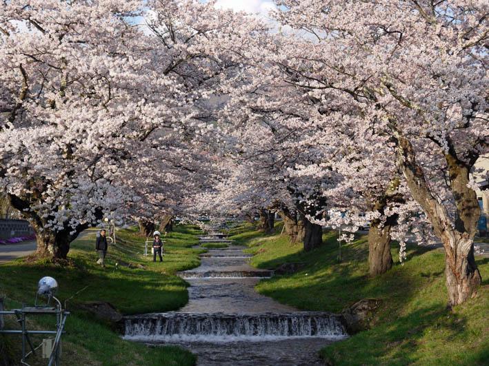 散ってしまっていた三春滝桜、見ごろは1週間前だった4・20_c0014967_9331693.jpg