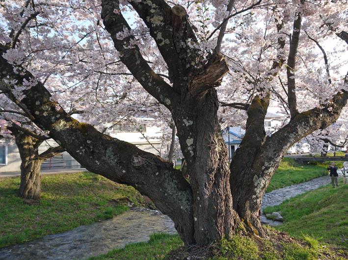散ってしまっていた三春滝桜、見ごろは1週間前だった4・20_c0014967_933181.jpg