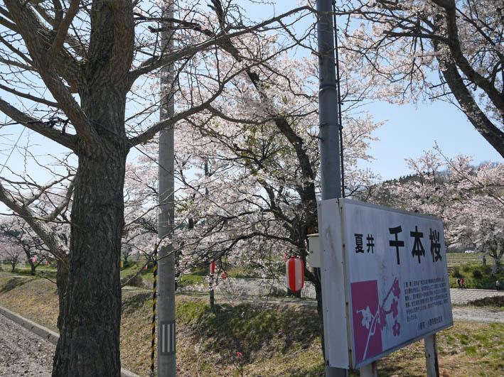 散ってしまっていた三春滝桜、見ごろは1週間前だった4・20_c0014967_9333517.jpg