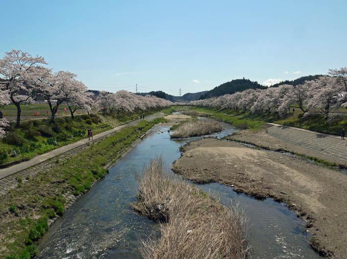 散ってしまっていた三春滝桜、見ごろは1週間前だった4・20_c0014967_9335352.jpg