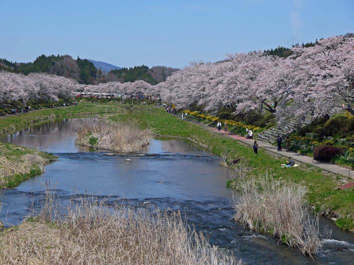 散ってしまっていた三春滝桜、見ごろは1週間前だった4・20_c0014967_934861.jpg