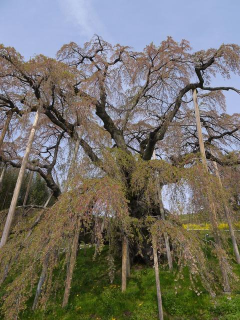 散ってしまっていた三春滝桜、見ごろは1週間前だった4・20_c0014967_935057.jpg