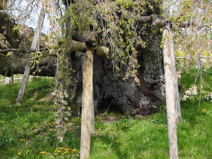 散ってしまっていた三春滝桜、見ごろは1週間前だった4・20_c0014967_9351747.jpg