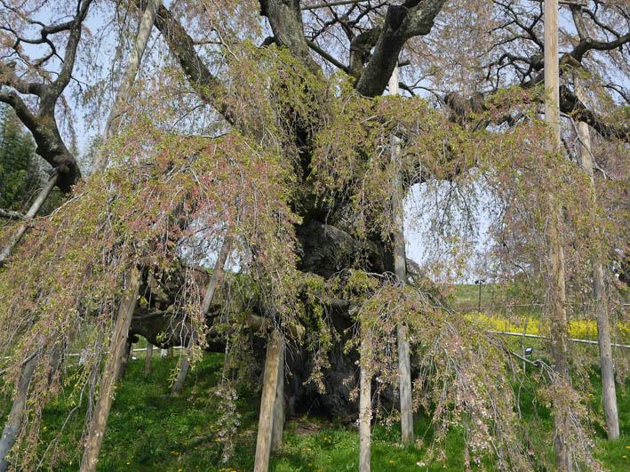 散ってしまっていた三春滝桜、見ごろは1週間前だった4・20_c0014967_9352948.jpg