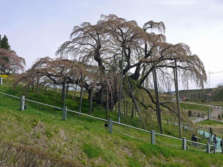散ってしまっていた三春滝桜、見ごろは1週間前だった4・20_c0014967_9463323.jpg