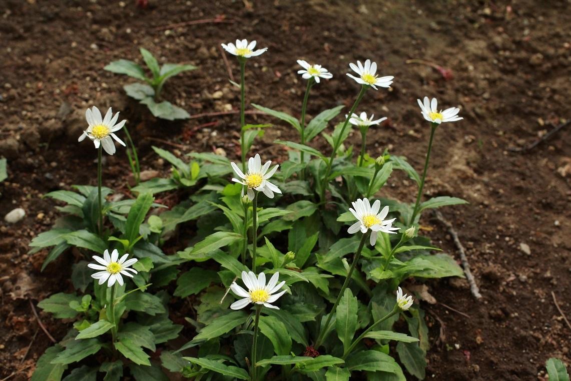 一輪の花も増えて ~福岡中央公園の花その4~                  ~アズマギク、黄花ホウチャクソウ、コデマリ、ツルニチニチソウ~_a0107574_20273638.jpg