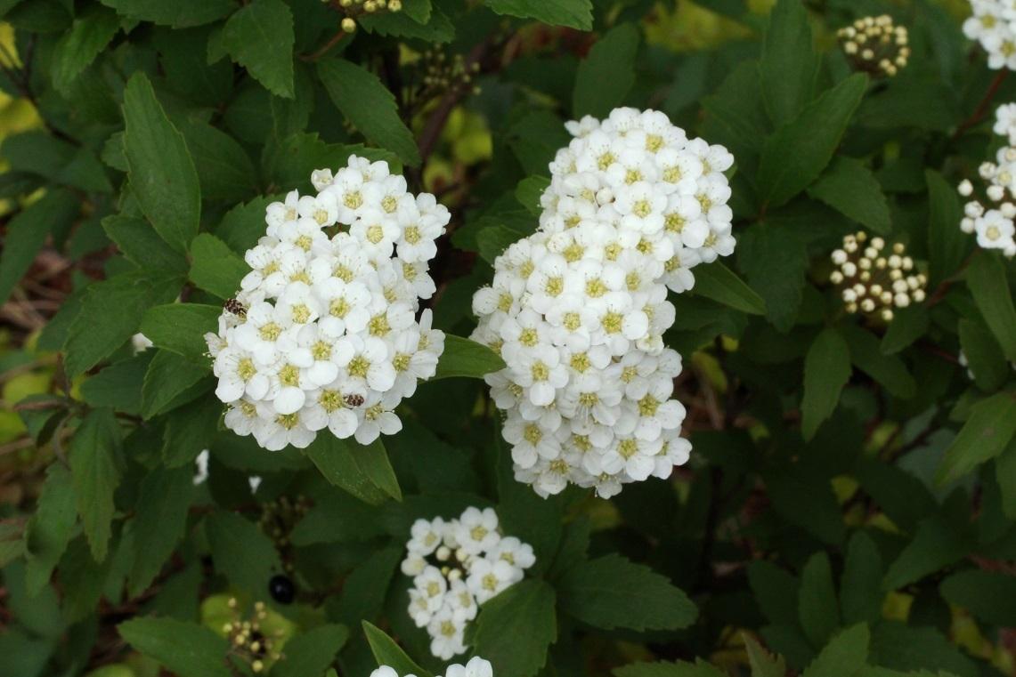 一輪の花も増えて ~福岡中央公園の花その4~                  ~アズマギク、黄花ホウチャクソウ、コデマリ、ツルニチニチソウ~_a0107574_20275264.jpg