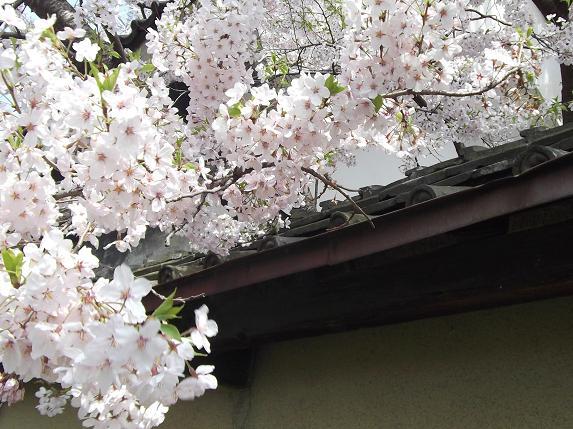 桜満開、そして栗キャン_f0326895_22215510.jpg
