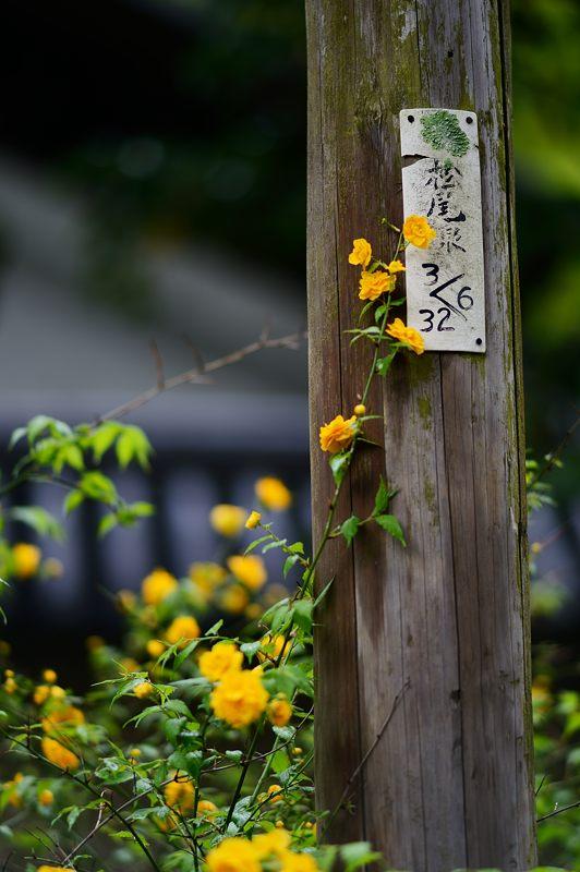初夏の色!山吹@松尾大社_f0032011_1911880.jpg