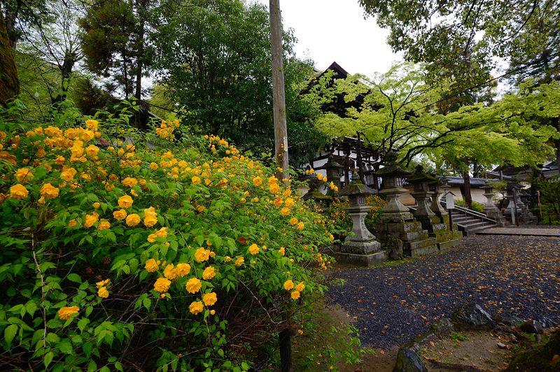 初夏の色!山吹@松尾大社_f0032011_199284.jpg