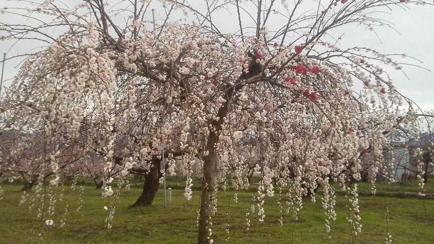 春のお便り  from 一宮_f0325525_00582979.jpg