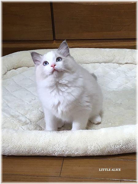 ☆ラグド-ルの仔猫・・サリ-のお兄ちゃん。_c0080132_13554199.jpg