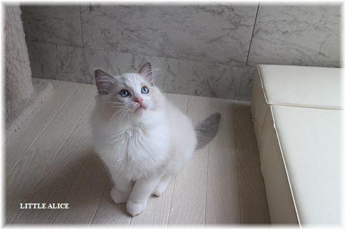 ☆ラグド-ルの仔猫・・サリ-のお兄ちゃん。_c0080132_13581161.jpg
