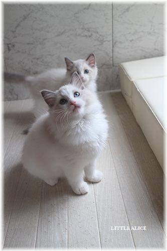 ☆ラグド-ルの仔猫・・サリ-のお兄ちゃん。_c0080132_13584730.jpg