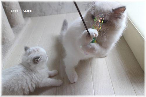 ☆ラグド-ルの仔猫・・サリ-のお兄ちゃん。_c0080132_13591144.jpg