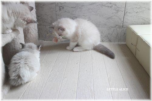 ☆ラグド-ルの仔猫・・サリ-のお兄ちゃん。_c0080132_140389.jpg