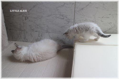 ☆ラグド-ルの仔猫・・サリ-のお兄ちゃん。_c0080132_1405483.jpg
