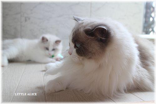 ☆ラグド-ルの仔猫・・サリ-のお兄ちゃん。_c0080132_14105187.jpg