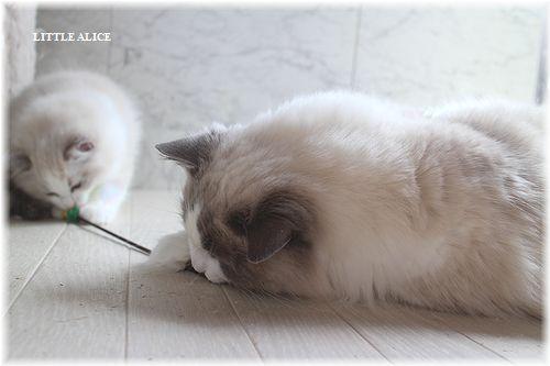 ☆ラグド-ルの仔猫・・サリ-のお兄ちゃん。_c0080132_1412252.jpg