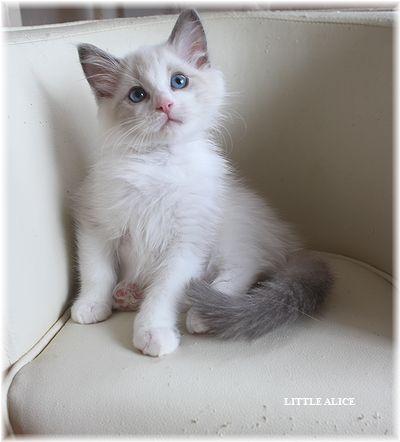 ☆ラグド-ルの仔猫・・サリ-のお兄ちゃん。_c0080132_14154451.jpg