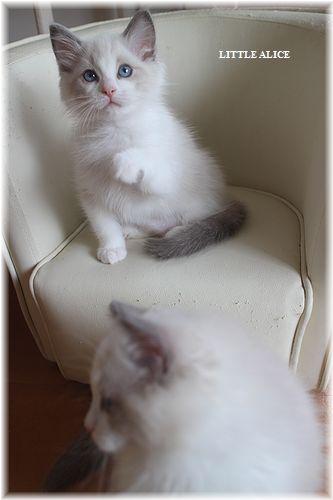☆ラグド-ルの仔猫・・サリ-のお兄ちゃん。_c0080132_14184319.jpg