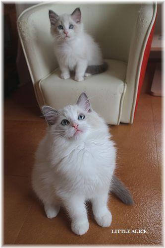 ☆ラグド-ルの仔猫・・サリ-のお兄ちゃん。_c0080132_14191138.jpg
