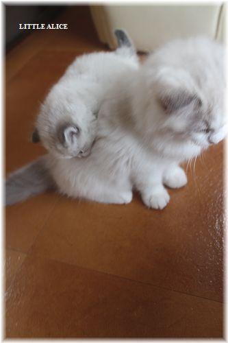 ☆ラグド-ルの仔猫・・サリ-のお兄ちゃん。_c0080132_142306.jpg