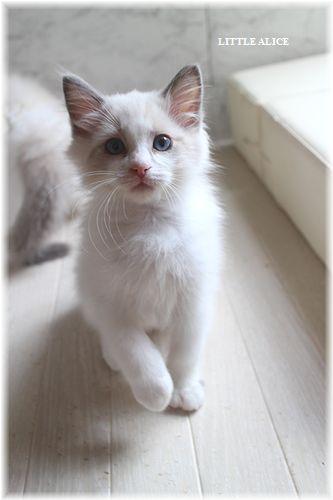 ☆ラグド-ルの仔猫・・サリ-のお兄ちゃん。_c0080132_142425.jpg