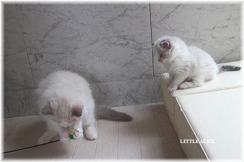 ☆ラグド-ルの仔猫・・サリ-のお兄ちゃん。_c0080132_142569.jpg
