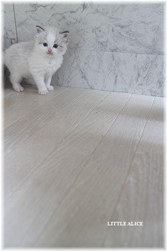 ☆ラグド-ルの仔猫・・サリ-のお兄ちゃん。_c0080132_1431444.jpg