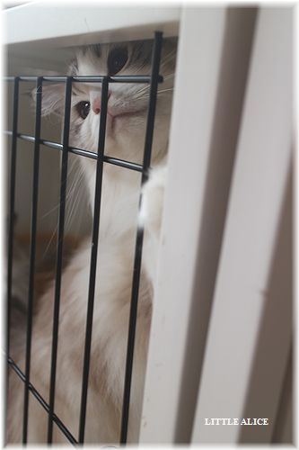 ☆ラグド-ルの仔猫・・サリ-のお兄ちゃん。_c0080132_1442611.jpg