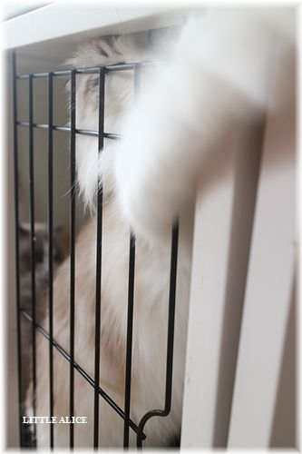 ☆ラグド-ルの仔猫・・サリ-のお兄ちゃん。_c0080132_1462840.jpg