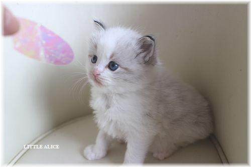 ☆ラグド-ルの仔猫・・サリ-のお兄ちゃん。_c0080132_1473935.jpg