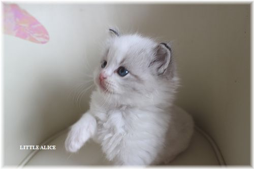 ☆ラグド-ルの仔猫・・サリ-のお兄ちゃん。_c0080132_149257.jpg
